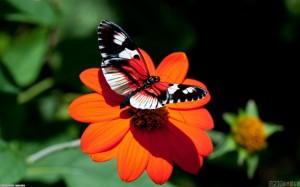 beautiful_butterfly_on_a_flower_1440x900